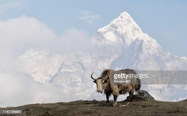 yak, sagarmatha national park, everest base camp trek, nepal - yak stock pictures, royalty-free photos & images