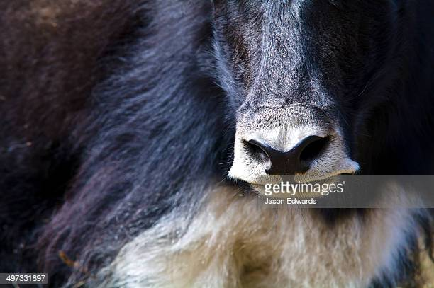 A Yak sniffs the air with large nostrils searching for danger or threats.