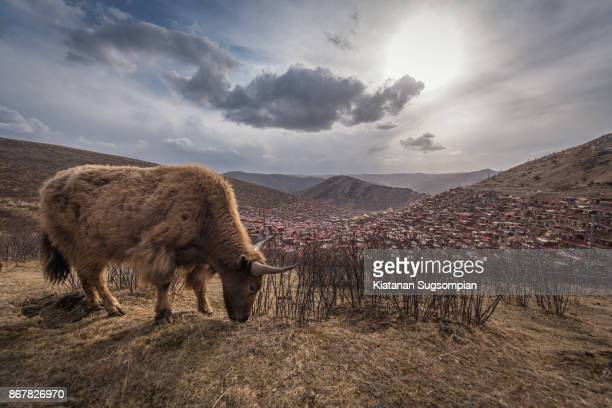 yak story - wild cattle stock photos and pictures