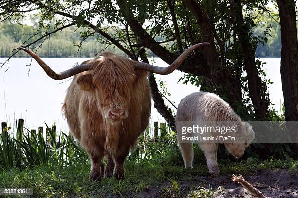 yak with calf standing by tree against river - yak stock pictures, royalty-free photos & images