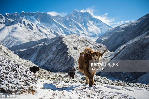 yak with himalaya snow mountain background on the way to Everest basecamp