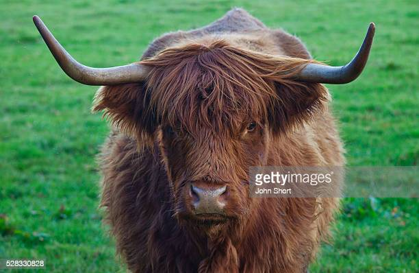 yak with large horns; scottish borders scotland - yak stock pictures, royalty-free photos & images