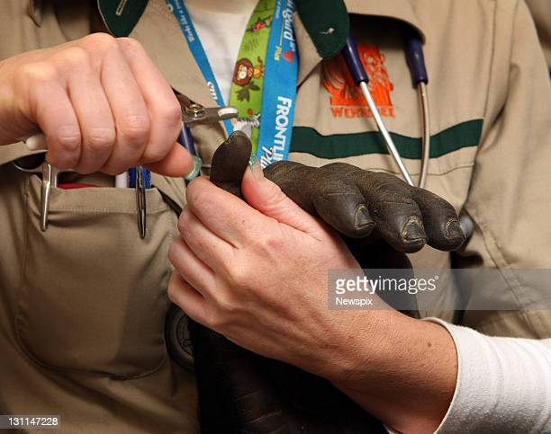 'Yakini' the male Gorilla has his nails clipped while receiving a medical checkup from vets at Melbourne Zoo before being moved to a new multi...