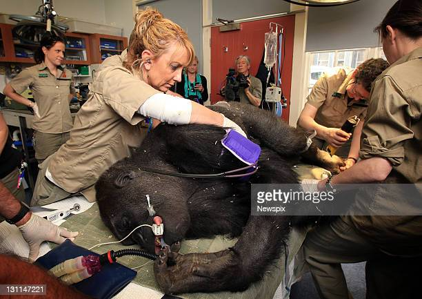 'Yakini' the male Gorilla is sedated while receiving a medical checkup from vets at Melbourne Zoo before being moved to a new multi million dollar...