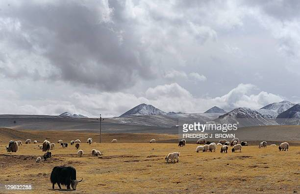 Yaks and sheep graze on grasslands outside of Gonge in Hainan Tibetan Autonomous Prefecture on the Qinghai-Tibet plateau on April 19, 2010 in...