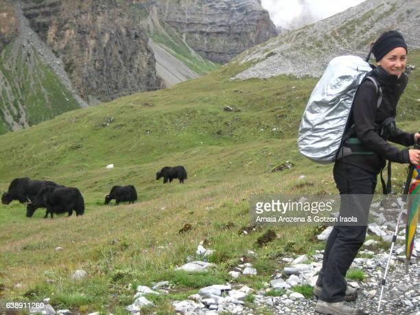 yaks and woman trekker in annapurna trekking circuit. nepal - annapurna circuit stock photos and pictures