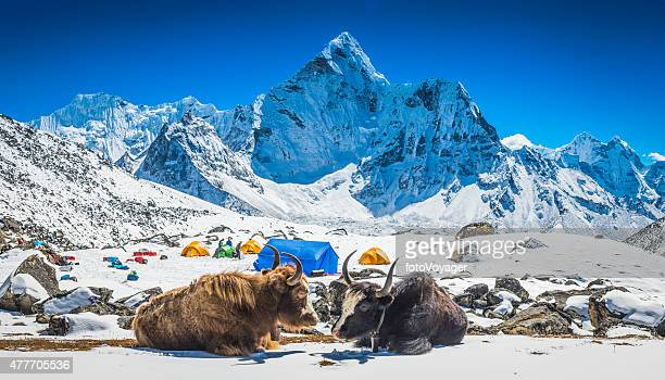 yaks at himalayan high camp below snowy mountain peaks nepal - nepal stock pictures, royalty-free photos & images