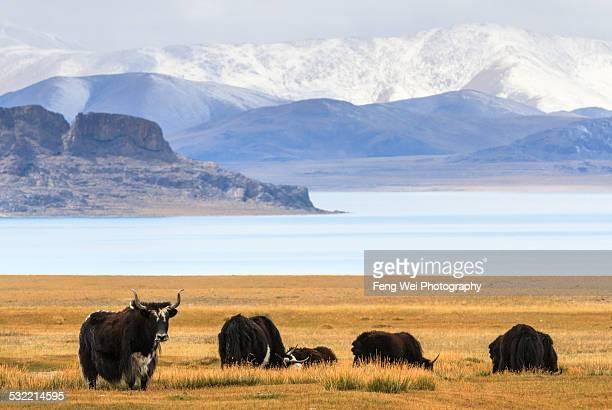 Yaks at Zhari Namco, Ngari, Tibet