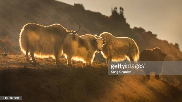 yaks bathed in morning sunlight, manang, nepal - annapurna south stock pictures, royalty-free photos & images
