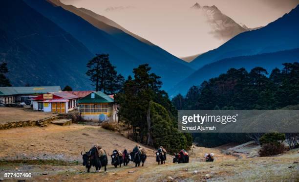 Yaks, beasts of the Himalayas, Tengboche village, Khumbu region, Nepal - April 27, 2016