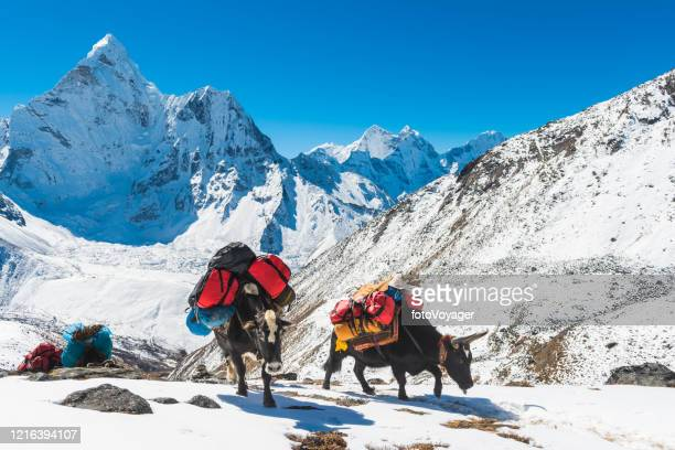 yaks carrying expedition kit below ama dablam himalayas mountains nepal - yak stock pictures, royalty-free photos & images