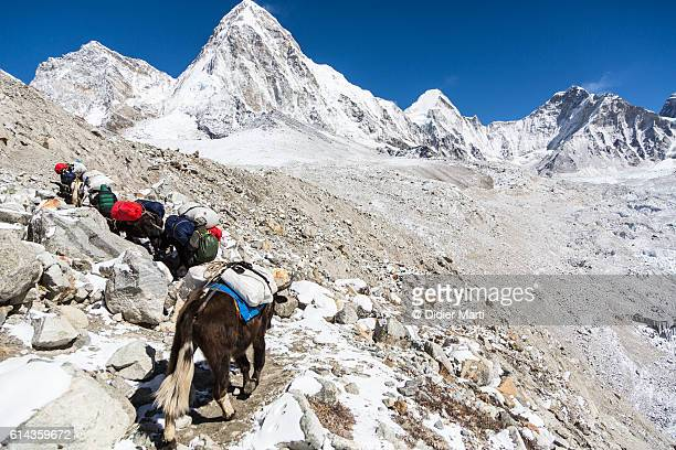 Yaks carrying material to the Everest base camp in Nepal