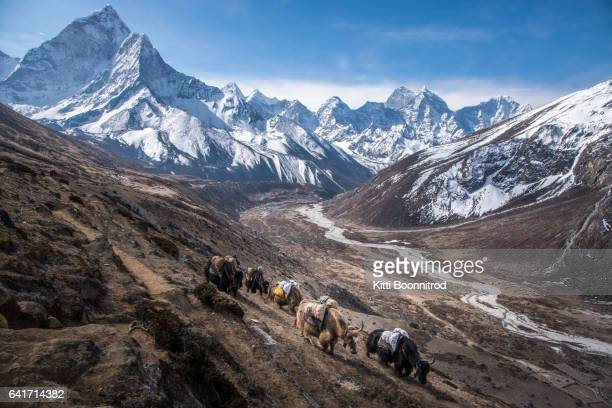 yaks carrying stuff to everest base camp, nepal - népal photos et images de collection