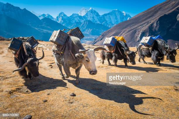 yaks carrying supplies high on himalaya mountain trail khumbu nepal - over burdened stock pictures, royalty-free photos & images