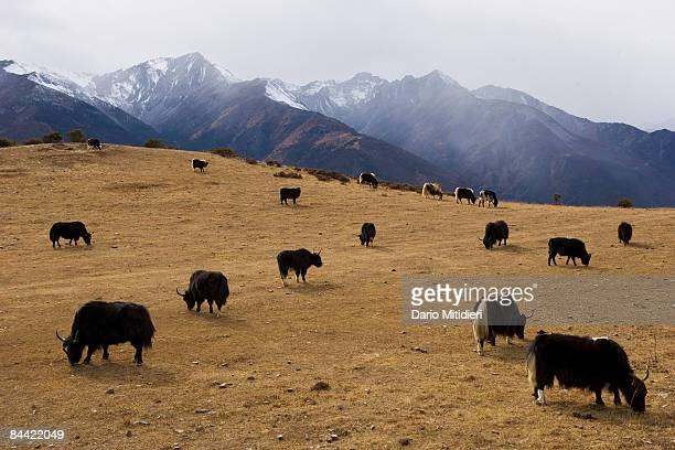 Yaks grazing on the side of the road from Shangri La to Yading a reserve in southwest Sichuan Province China This area of southwestern China is...