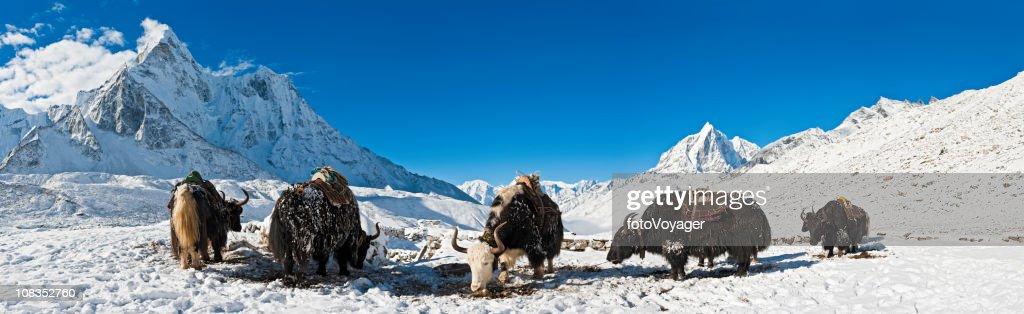 Yaks in high altitude snow mountain summits panorama Himalayas Nepal : Stock Photo