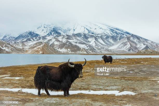 yaks lives under the muztagh ata - yak stock pictures, royalty-free photos & images