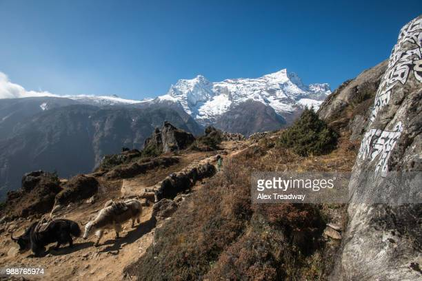 Yaks make their way down from Everest Base Camp to collect more supplies, with Kongde the peak in the distance, Nepal, Himalayas, Asia