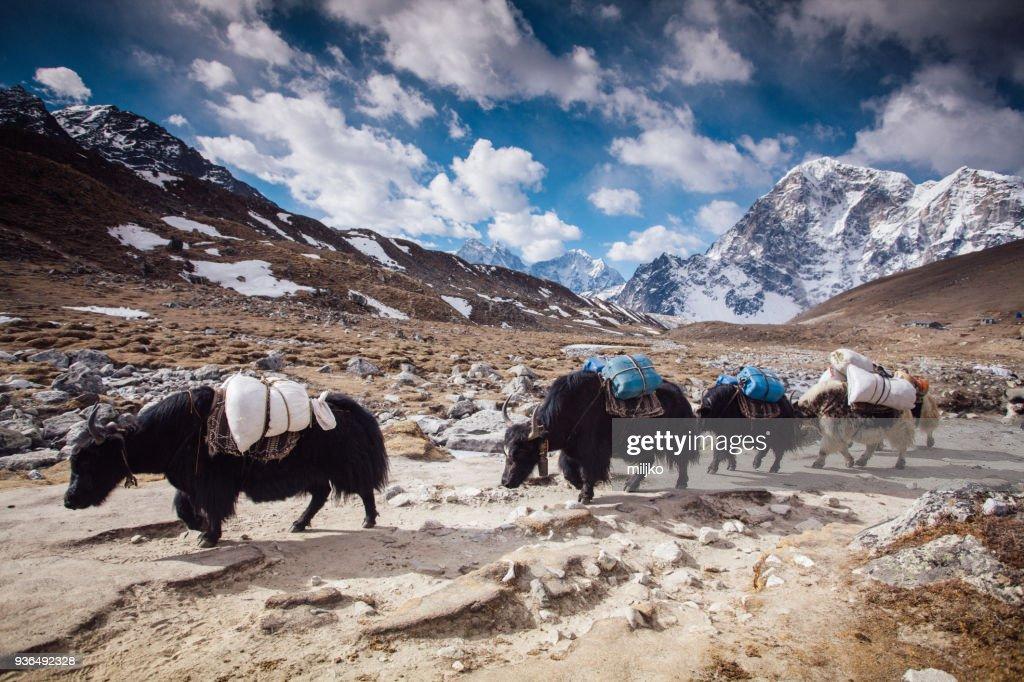 Yaks on Himalayas : Stock Photo