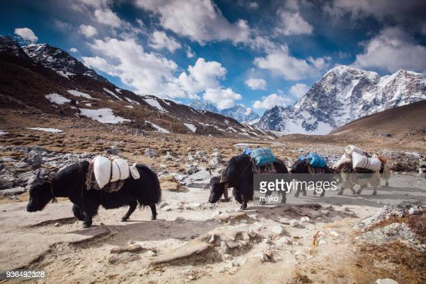 yaks on himalayas - yak stock pictures, royalty-free photos & images
