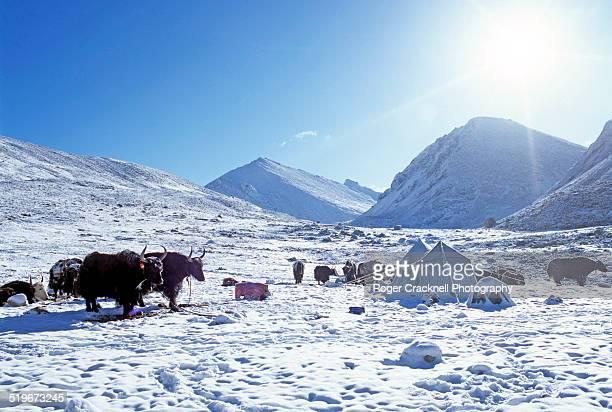 Yaks On Mount Kailash Tibet