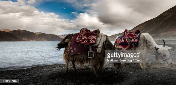 yaks on mountain against sky - herbivorous stock photos and pictures