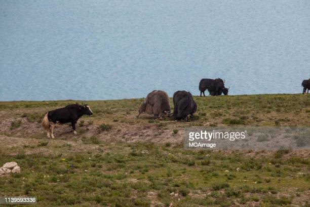 yaks on the yarlung zangbo river,tibet,china - cinq animaux photos et images de collection