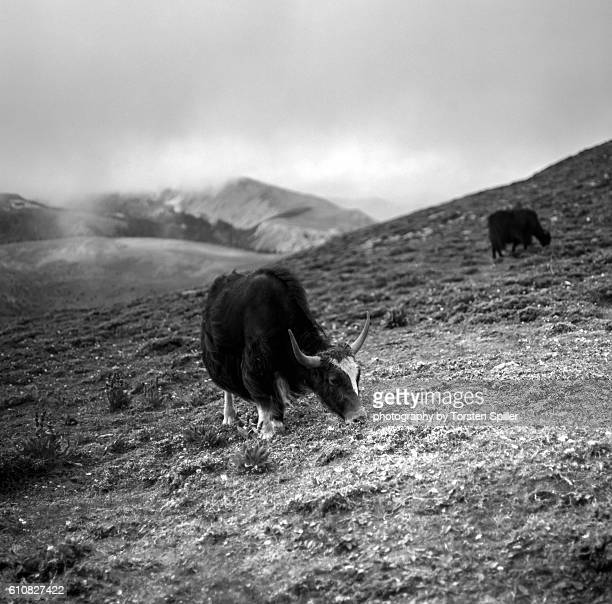 yaks - wild cattle stock photos and pictures