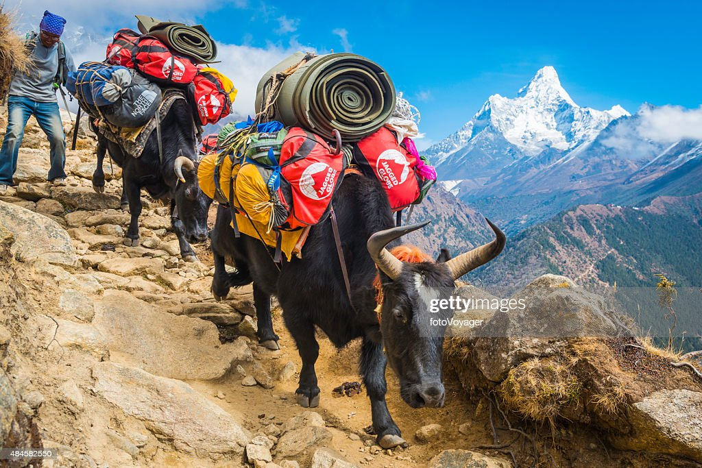 Yaks Sherpa driver carrying expedition kit Everest trail Himalayas Nepal : Stock Photo
