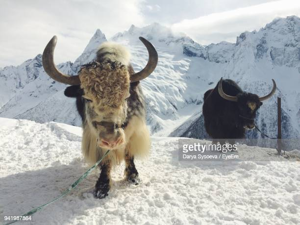 yaks standing on landscape during winter - yak stock pictures, royalty-free photos & images
