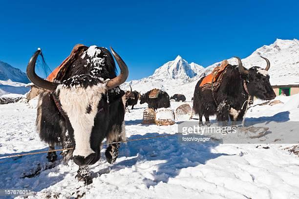 yaks traditional saddles winter snow mountain peaks khumbu himalayas nepal - yak stock pictures, royalty-free photos & images