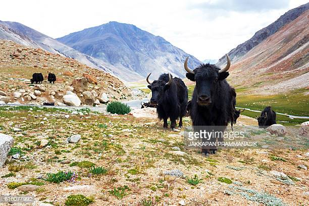 yaks with mountain landscape in ladakh - yak stock pictures, royalty-free photos & images
