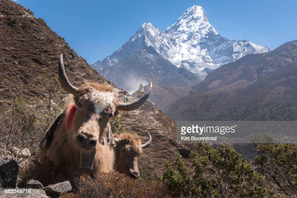 Yaks, with Mt.Amadablam in background, Nepal