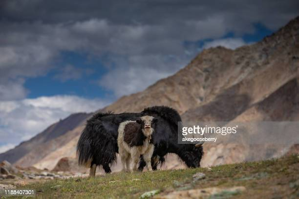 yaks with natural landscape in leh ladakh, jammu and kashmir - yak stock pictures, royalty-free photos & images