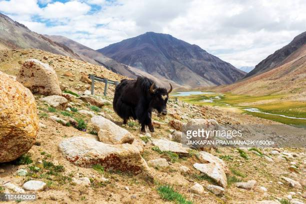 Yaks With Natural Landscape In Leh Ladakh