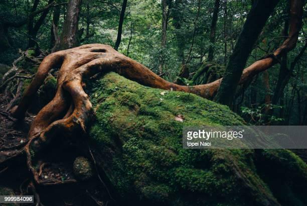 yakushima temperate rainforest, kagoshima, japan - muschio flora foto e immagini stock