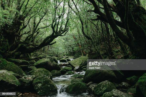 yakushima's lush green forest with stream, shiratani unsuikyo trail - lush stock pictures, royalty-free photos & images