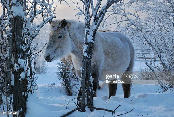 yakut horse in extreme cold - bernard grua photos et images de collection