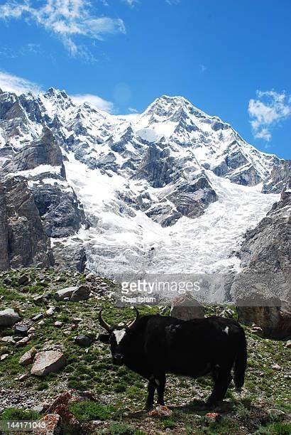 yalk on k2 trek - k2 mountain stock pictures, royalty-free photos & images