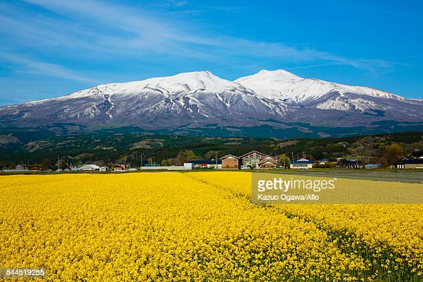 yamagata prefecture, japan - brassica stock photos and pictures