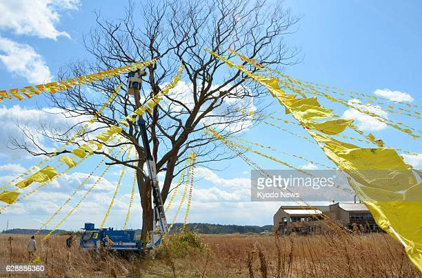 Yamamoto Japan About 3000 yellow handkerchiefs sent from across Japan are tied to a zelkova tree in the town of Yamamoto Miyagi Prefecture on Feb 23...
