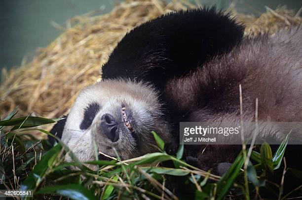 Yang Guang the male panda at Edinburgh zoo sits inside his enclosure on April 4 2014 in EdinburghScotland Experts at the zoo have been monitoring...
