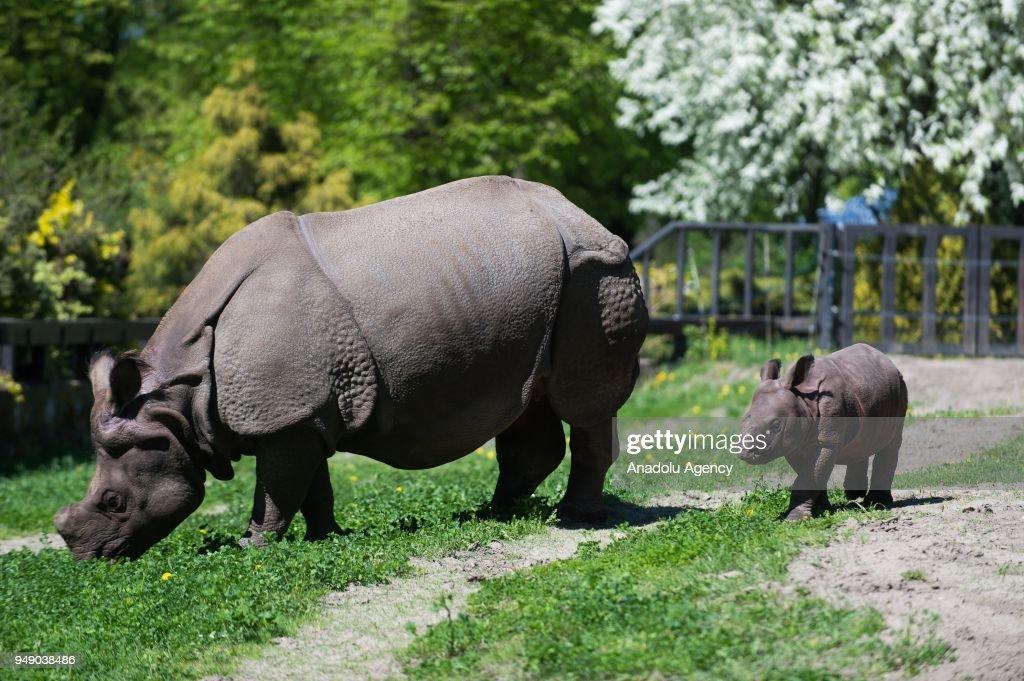 New Born Asian Rhino In Warsaw Zoo