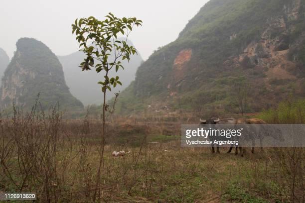 yangshuo countryside, buffalo bulls, guangxi, china - argenberg ストックフォトと画像