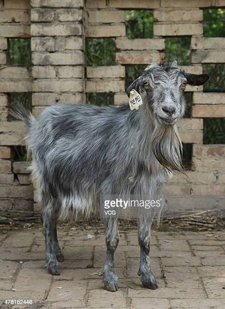 Yangyang one of China's first group of cloned goats celebrates its 15th birthday at the cloned animals base of Northwest AF University on June 22...