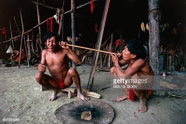 Yanomami Indians taking Yopo Anadenanthera colubrina seeds used to induce a state of trance and visions and to communicate with the spirits near the...