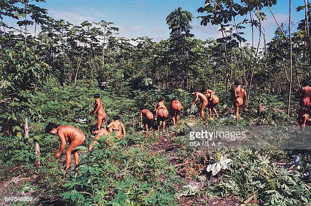 Yanomami men harvesting and farming Parica The Amazon rainforest Venezuela