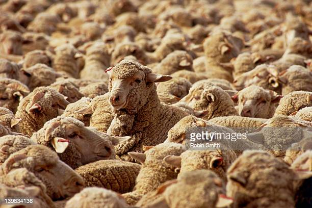 Yarded sheep - Hay, New South Wales, Australia
