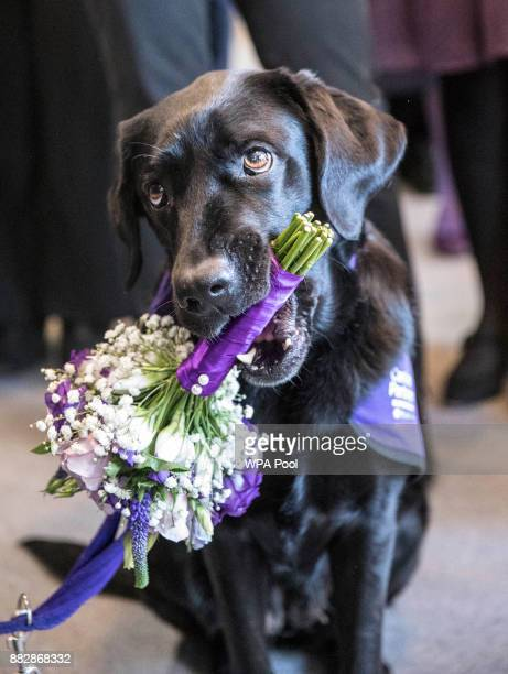 'Yarna' the black Labrador prepares to present Queen Elizabeth II with a bouquet of Posies at the conclusion of Queen Elizabeth II's visit to the...