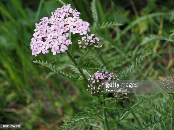 Yarrow Achillea (Achillea Millefolium)